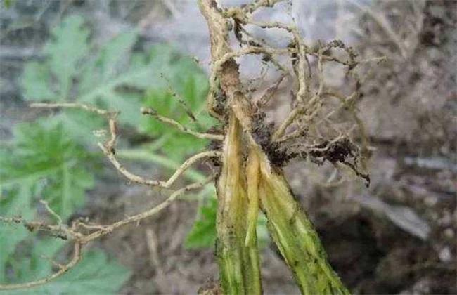 西红柿细菌病害有哪些