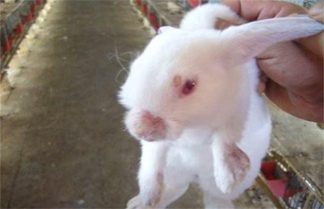 獭兔防疫管理