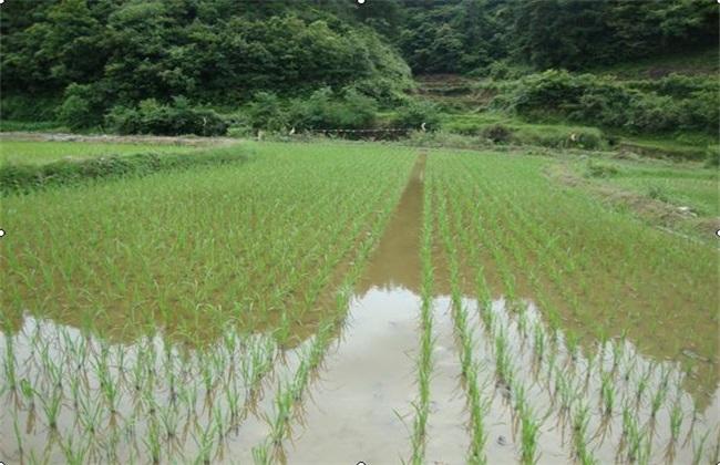 稻田养殖鲫鱼技术