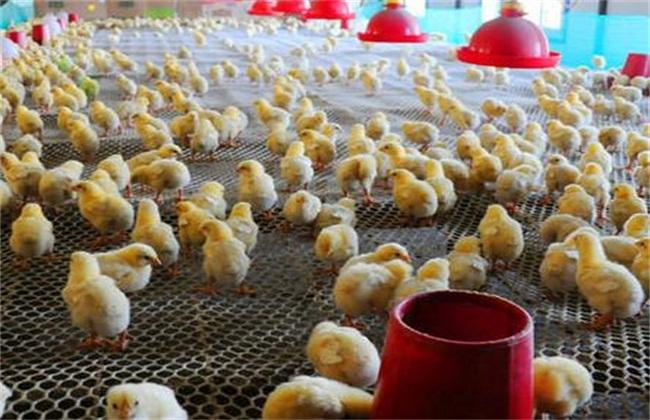 育雏鸡 饲养管理 管理技术