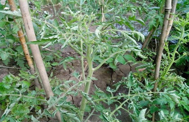 西红柿卷叶 怎么办 卷叶原因