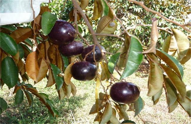 星苹果种植技术