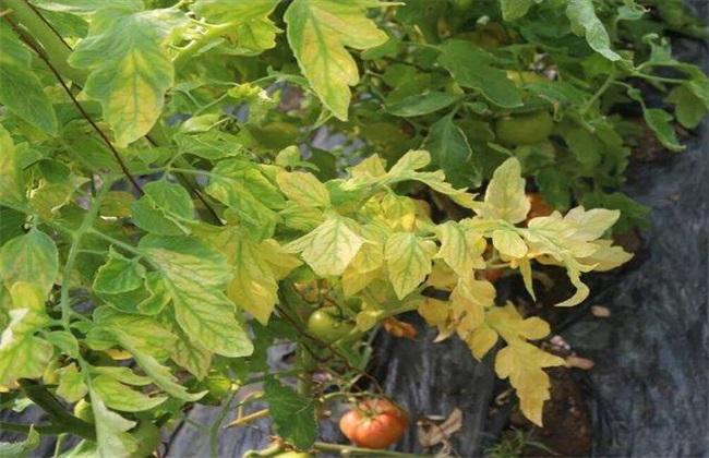 西红柿黄叶 原因 防治方法