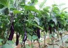 如何提高茄子的坐果率