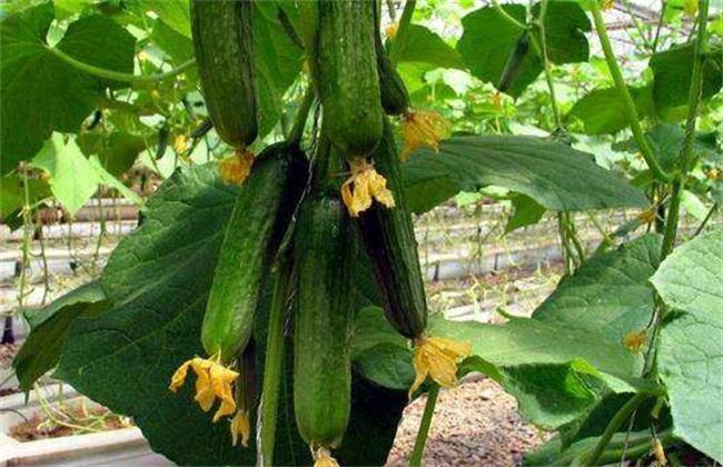 夏季黄瓜种植注意事项