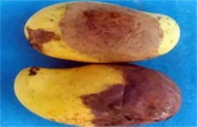 芒果烂果原因及防治方法
