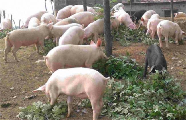 养猪 驱虫 注意事项