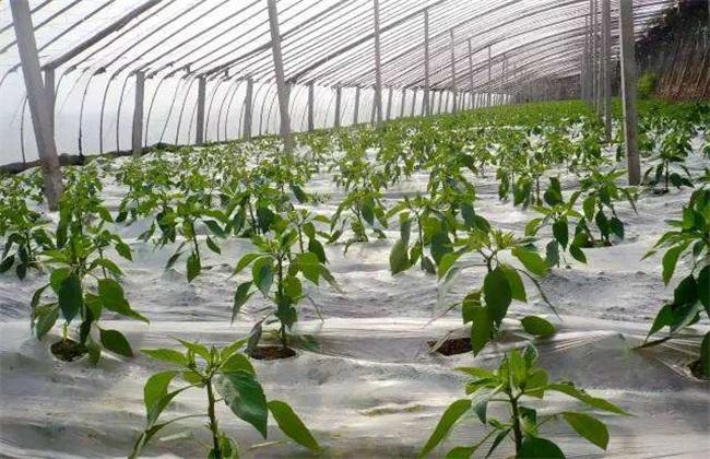 地膜黄瓜育苗技术