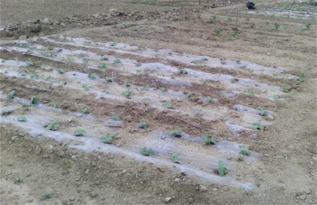 地膜 黄瓜 育苗技术