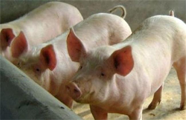 夏季养猪掉膘怎么办