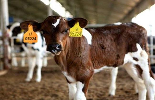 犊牛 饲养管理 管理要点