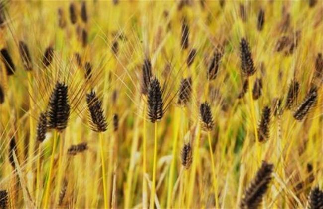 黑麦的种植技术