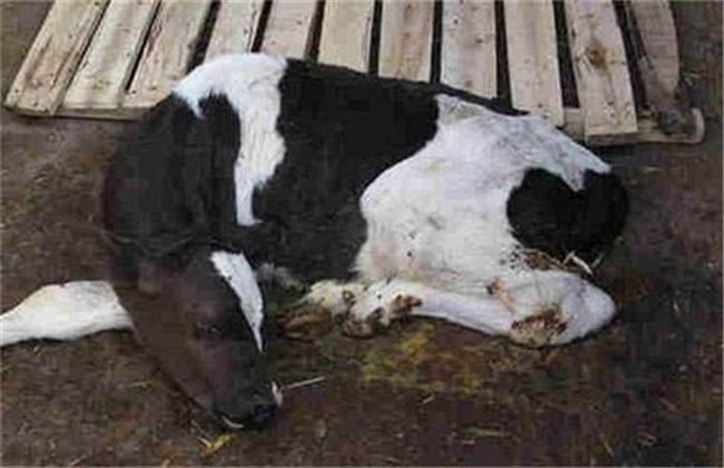 犊牛常见疾病及治疗方法