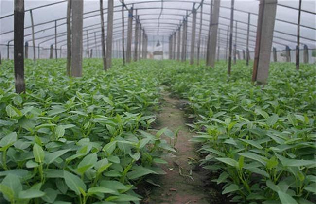 空心菜高产栽培技术