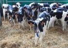 犊牛饲养管理技术要点