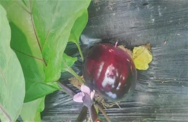 茄子早衰原因及解决方法