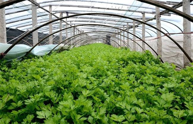 芹菜大棚种植管理