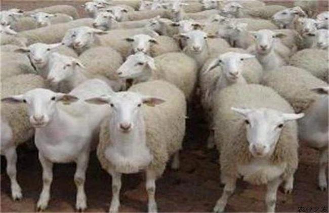 夏季养羊 如何增膘 管理方法