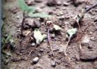 茄子苗期猝倒防治方法