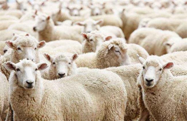 肉羊短期育肥技术