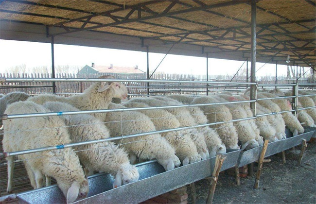 肉羊 短期 育肥技术