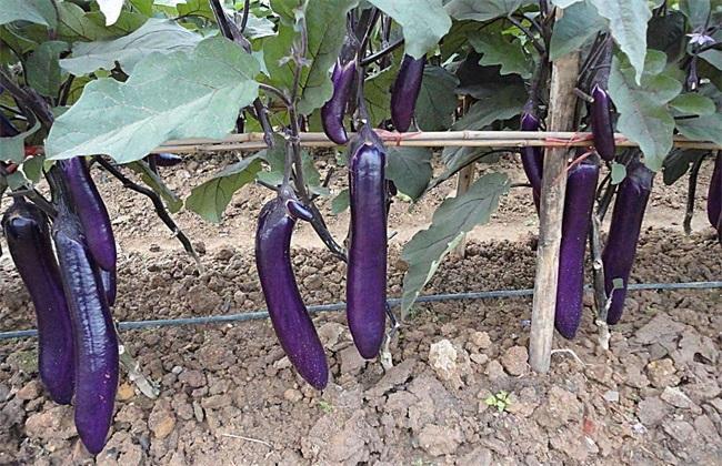 茄子夏季施肥注意事项