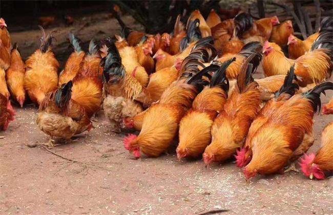 肉鸡育成期饲养管理技术