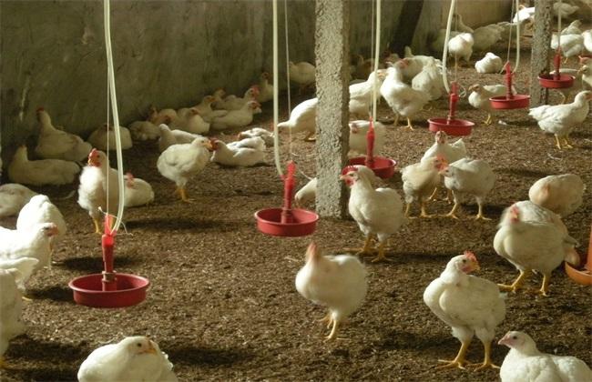 肉鸡 育成期 饲养管理技术