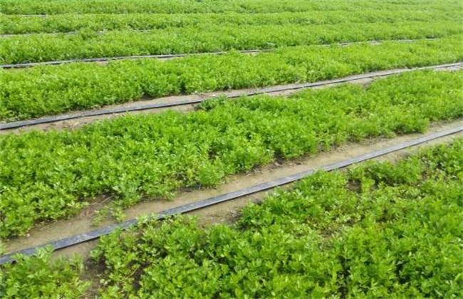夏季芹菜 芹菜种植 注意事项