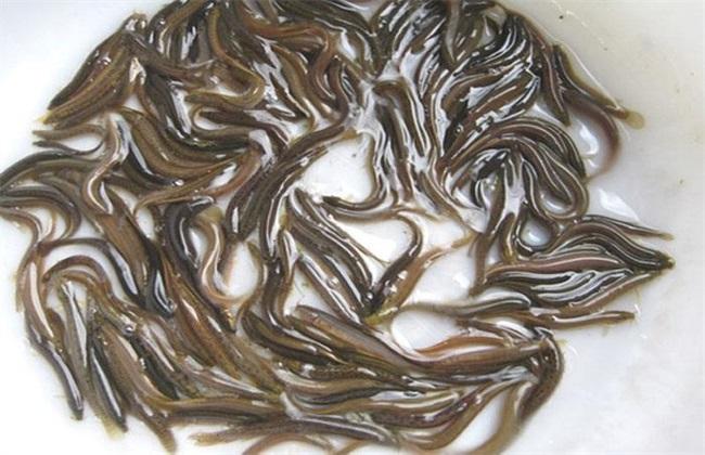 泥鳅田螺混养技术