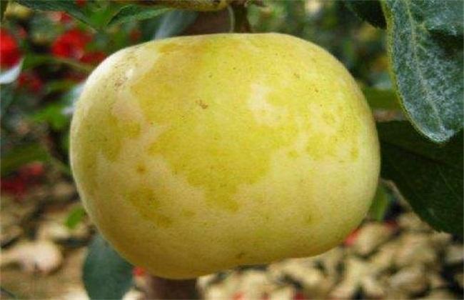 苹果水心病的防治