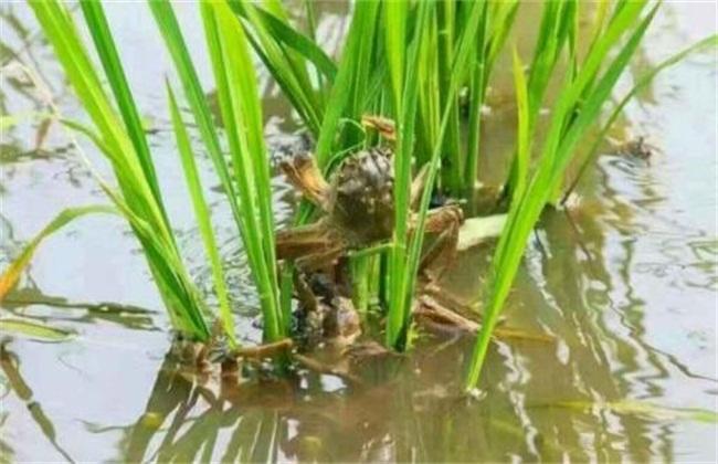 稻田虾蟹混养高产技术
