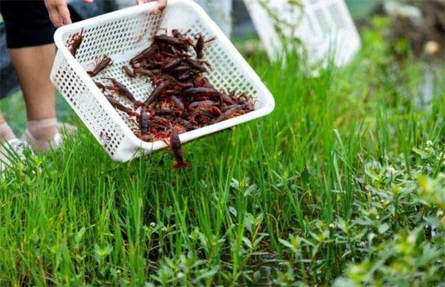稻田 虾蟹混养 注意事项