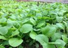 怎么栽培小白菜