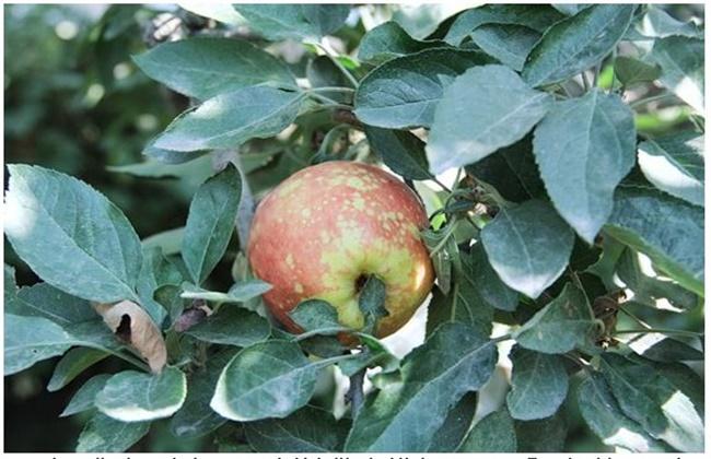 苹果病毒病防治方法