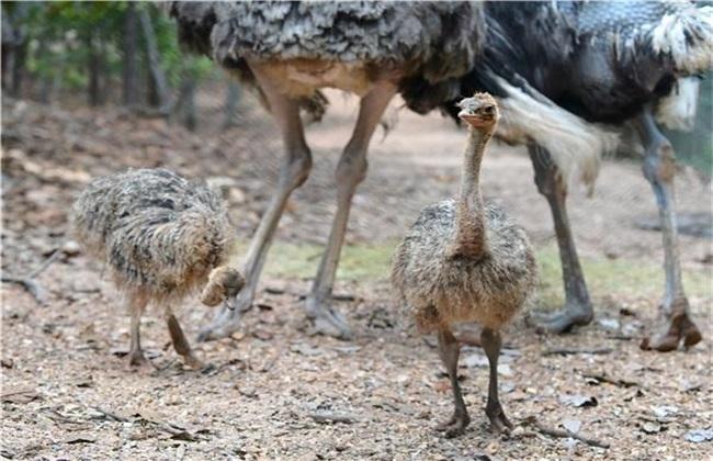 鸵鸟不同生长期的饲养管理