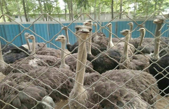 鸵鸟 不同生长期 饲养管理