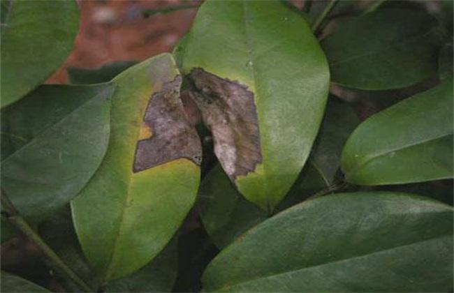 植物炭疽病怎么治