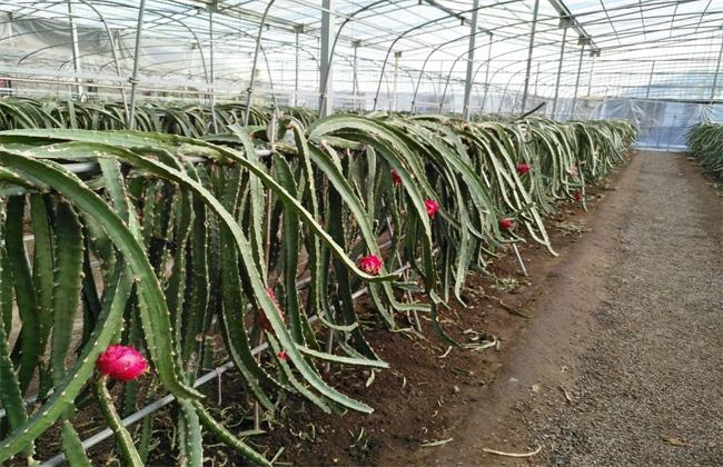 火龙果高产栽培技术