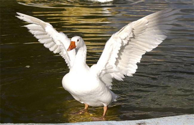 夏季肉鹅养殖注意事项