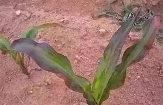 玉米红苗原因及防治方法