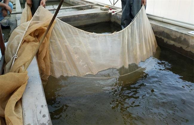 鲈鱼苗培育方式