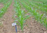 玉米苗期除草技巧