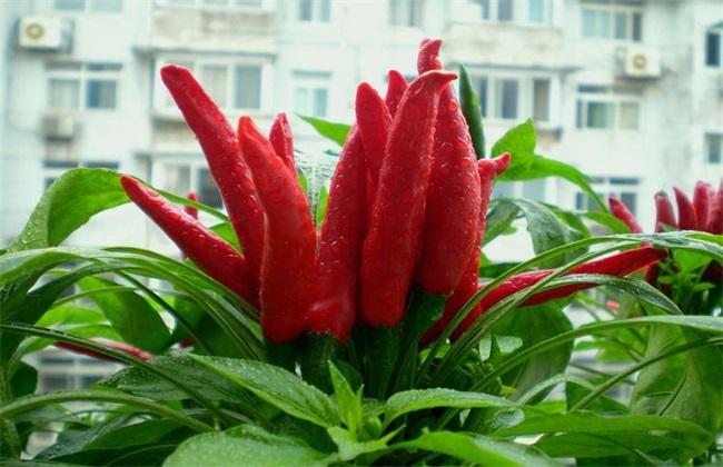 辣椒常见品种