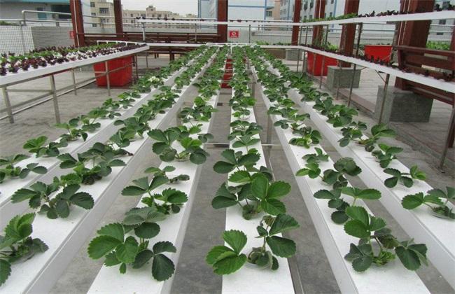 草莓 无土栽培技术 草莓无土栽培