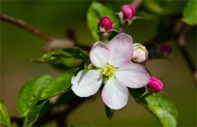 苹果树花期管理要点