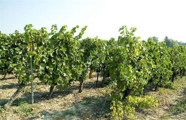 如何提高 葡萄 产量