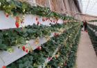 草莓的无土栽培技术