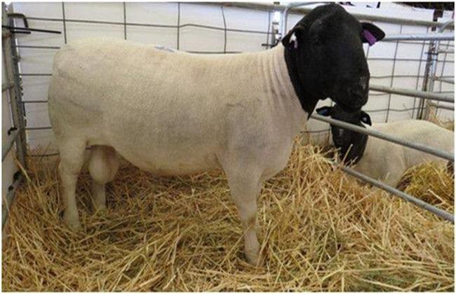 杜泊羊饲喂方法