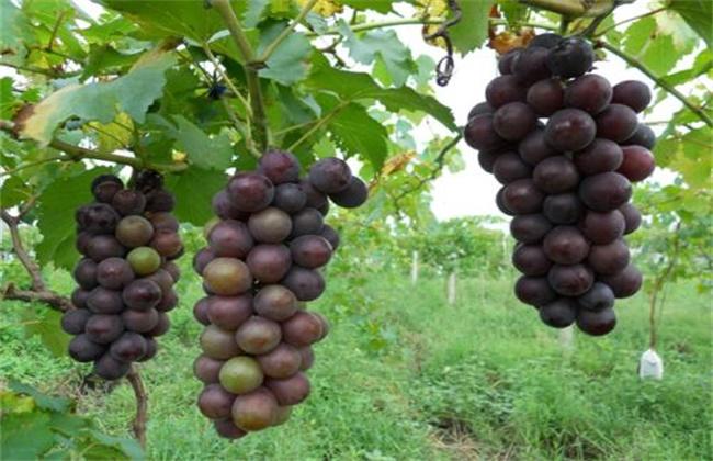滕捻葡萄种植技术